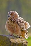 Juvenile Eagle Owl Royalty Free Stock Photography