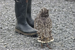 Juvenile eagle owl looking for food. A juvenile male eagle owl (bubo bubo) begging for food Stock Photo