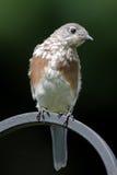 Juvenile Eastern Bluebird Royalty Free Stock Photography