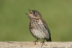 Juvenile Eastern Bluebird Stock Photography