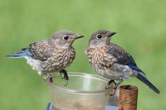 Juvenile Eastern Bluebirds Stock Images