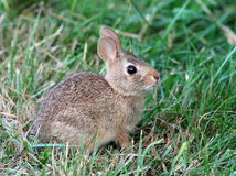 Juvenile Eastern Cottontail Rabbit Royalty Free Stock Photos