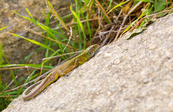 Juvenile Eastern Green Lizard basking. Juvenile Eastern Green Lizard - Lacerta viridis - basking on an ancient wall of the historic city of Perperikon, 5000 BC Stock Photos