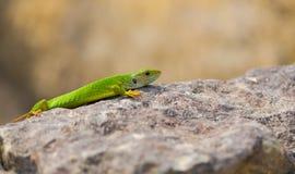 Juvenile Eastern Green Lizard basking Royalty Free Stock Image