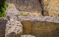 Juvenile Eastern Green Lizard basking on ruins Stock Photography