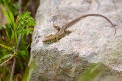 Juvenile Eastern Green Lizard basking on ruins Royalty Free Stock Photos