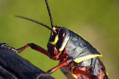 Juvenile Eastern Lubber grasshopper Royalty Free Stock Photos