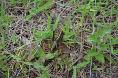 Juvenile Eastern Lubber Grasshopper royalty free stock photos