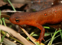 Juvenile Eastern Newt or Red Eft. Juvenile Eastern Newt or Red-spotted Newt( Notophthalmus viridescens) - Ontario, Canada Royalty Free Stock Photography