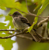 Juvenile Eastern Wood Pewee Stock Photography