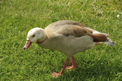 Juvenile Egyptian goose Royalty Free Stock Photos