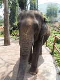 Juvenile Elephant. Begging for food  in the zoo of Chiang Mai, in the North of Thailand Stock Images