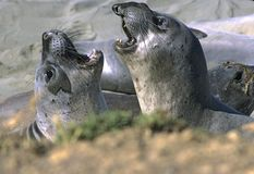 Juvenile Elephant Seals Royalty Free Stock Photography