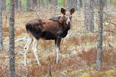 Juvenile elk Alces alces. In pine forest of northern part of Belarus Stock Photo