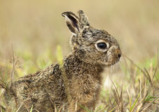Juvenile Euopean Hare. (Lepus euorpaeus) on the lookout for predators Royalty Free Stock Image