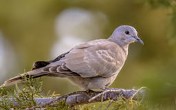 Juvenile Eurasian collared dove on  branch of conifer Royalty Free Stock Images