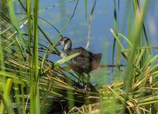 Juvenile eurasian coot near the nest Stock Photos