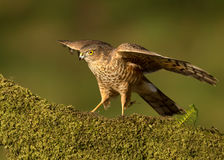 Juvenile Eurasian Sparrowhawk (Accipiter nisus) Stock Photo