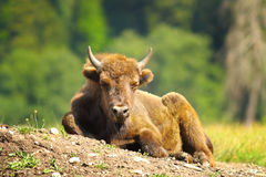 Juvenile european bison. Resting on the ground Bison bonasus stock photography