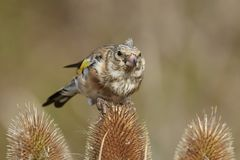 European goldfinch Carduelis carduelis Royalty Free Stock Photos