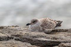 A juvenile European Herring Gull. A juvenile or 1st year European Herring Gull, Larus argentatus argenteus resting on a rock by the shore, Portland, Dorset Stock Photos
