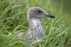 Juvenile European Herring Gull (Larus argentatus) Royalty Free Stock Image