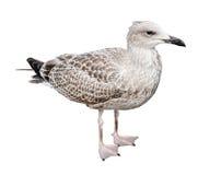 Juvenile European Herring Gull Royalty Free Stock Photos