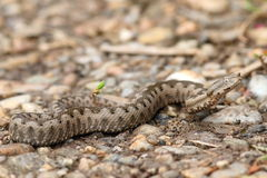 Juvenile european nose horned viper Royalty Free Stock Photos