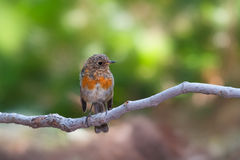 Juvenile European robin Stock Photo