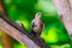 Juvenile European Starling Royalty Free Stock Image