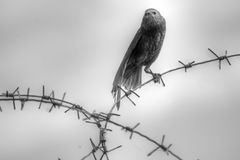 Juvenile European Starling. Facing head on while perched on barbed wire in black and white Royalty Free Stock Photos