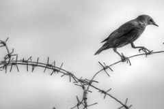 Juvenile European Starling. Facing left while perched on barbed wire in black and white Royalty Free Stock Photo