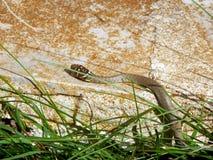 Juvenile European Whip Snake Royalty Free Stock Photo