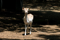 Juvenile Fallow Deer Royalty Free Stock Photo