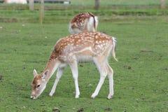 Juvenile Fallow deer Stock Image