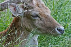 Juvenile Fallow Deer / Dama dama Stag head and face lying in long grass. Young Fallow Deer / Dama dama stag, head and face portrait wlying in the long grass. The stock images