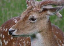 Juvenile Fallow Deer / Dama dama Stag head and face lying in long grass. Young Fallow Deer / Dama dama stag, head and face portrait standing in the long grass stock image