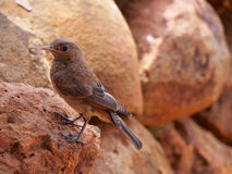 Juvenile familiar chat. On a background brown stones. Madikwe Game Reserve, South Africa Stock Images