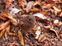 Juvenile familiar chat. On a background of leaf litter. Madikwe Game Reserve, South Africa Stock Photography