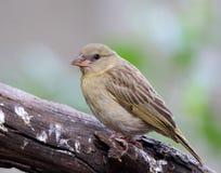 Juvenile female Southern Masked-weaver Stock Photo