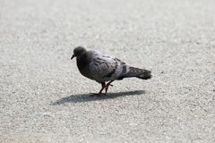 Juvenile feral pigeon Stock Image