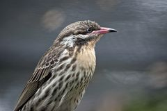 A juvenile figbird. This is  a close up of a female juvenile figbird Stock Images