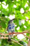 Juvenile finch bird Stock Image