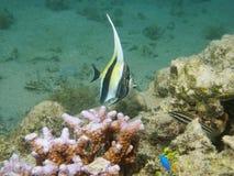 Juvenile fish moorish idol Zanclus cornutus Royalty Free Stock Image