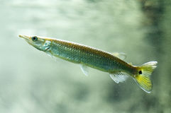 Juvenile fish. A juvenile pike or gar fish in an aquarium Stock Photos