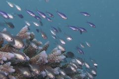 Juvenile fish swarming over coral Stock Images