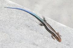 Juvenile Five-lined Skink (Plestiodon fasciatus). In the Florida Everglades Royalty Free Stock Image