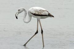 Juvenile Flamingo Royalty Free Stock Images
