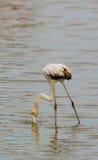 Juvenile Flamingo Royalty Free Stock Photos