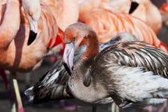 Juvenile flamingo Stock Photography